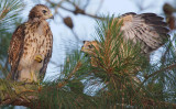 Red-shouldered Hawk Chicks, Mercer Wetlands