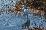 Great Egret with a Small Catch