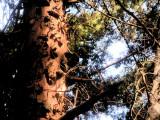 Pine tree's bark