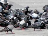 Colorful italian doves