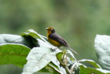 Spectacled Whitestart