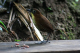 Yellow-breated Antpitta