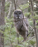 Great Gray Owl  in Newmarket, N.H.    4/4/09
