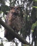 New England Owls