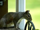 Squirrel-4486