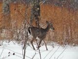 7112.Deer