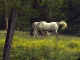 HorsesFlip-.9814