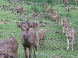 Bogor deer herd