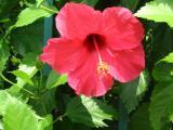 Kennedy Town flower