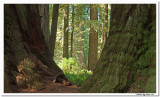 OLD GROWTH REDWOOD TREES