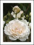 rozen