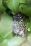 Hiding Hummingbird