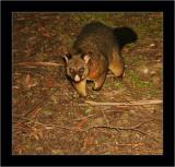 Possum, Cradle Mnt NP