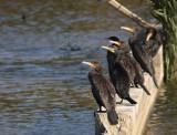 cormorano-A-6661.jpg
