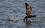 cormorano-F-6669.jpg