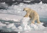 Polar Bear, Svalbard 3