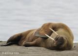 Walrus, Svalbard 3