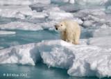 Polar Bear, Svalbard 5