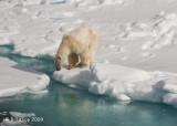 Polar Bear, Svalbard 6