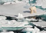 Polar Bear, Svalbard 7