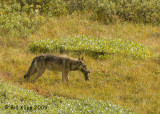Wolf with Arctic Ground Squirrel for lunch, Denali  2