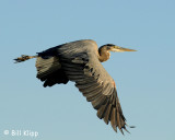 Great Blue Heron  9