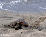 Green Sea Turtle, Kona Hawaii  1