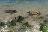 Green Sea Turtles, Kona Hawaii  2