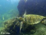 Green Sea Turtles, Kona Hawaii  4
