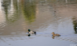 Northern Mallard Ducks  2