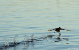 Coot on the run  1