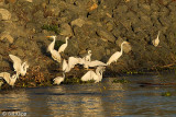 Egrets gathering to feed  1