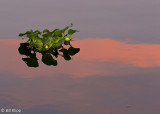 Hyacinth at Sunset  1