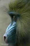 Mandrill Profile