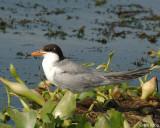 Terns 2