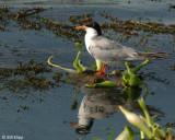 Terns 3