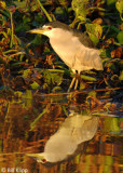 Black Crowned Night Heron 1,  Discovery Bay, Ca.