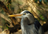Great Blue Heron 6