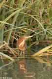Green Heron 3,  Discovery Bay