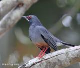 Red Legged Thrush - Zorzal Rea Orquideario Soroa Botanical Gardens