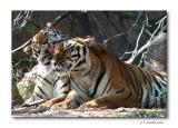 An Afternoon with Tigers