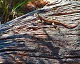 Navajo Ntnl Mnt, Utah - Lizard