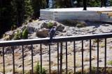 Rocky Mountain Grey Jay