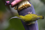 Grey-breasted Spiderhunter