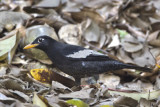 White-winged Blackbird (male)