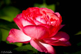 A Rose for this special day...