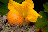 Dream of a Pumpkin