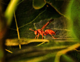 red wasp on fig leaf.jpg