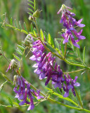Bird Vetch ((Vicia cracca)