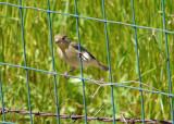 Lesser Goldfinch -Carduelis psaltria,  female